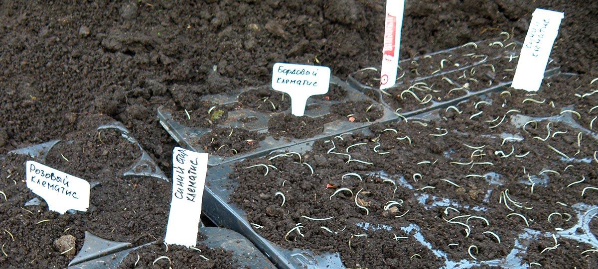 посадка клематисов семенами