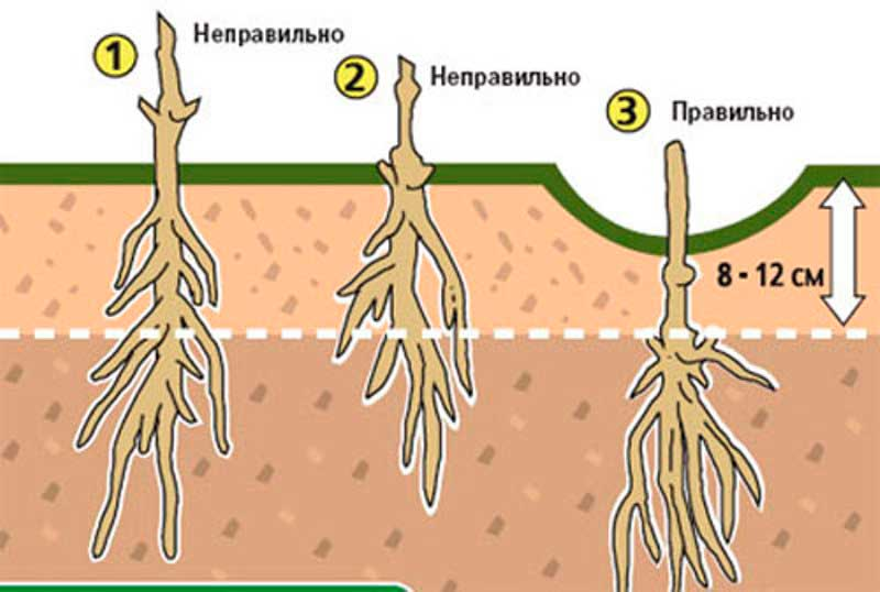 корневая система