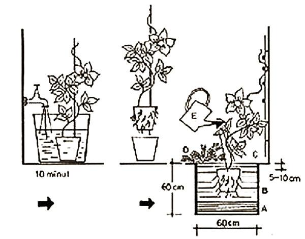 схема посадки клематиса