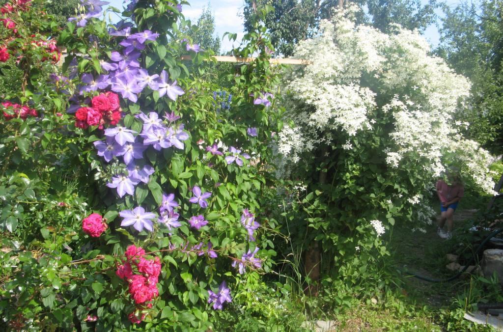 цветковый кустарник