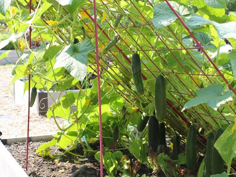 https://zemeljka.ru/wp-content/uploads/2019/07/welded-trellis-panel-cucumber.jpg