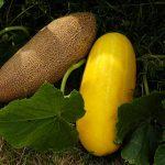 Как правильно отобрать семенной огурец для заготовки семян своими руками, видео