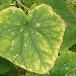 У огурцов желтеют края листьев: причины, лечение