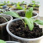 виды удобрений для рассады перца