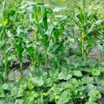 Совместная посадка огурцов с кукурузой