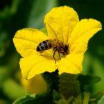 лучшие сорта пчелоопыляемых огурцов
