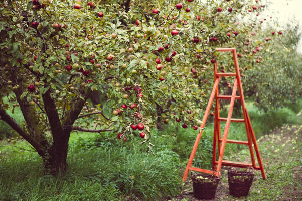 Чем обработать яблони осенью от болезней и вредителей
