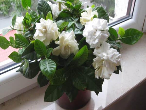 гардения_жасминовая_на_окне
