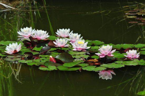 кувшинка в дачном пруду
