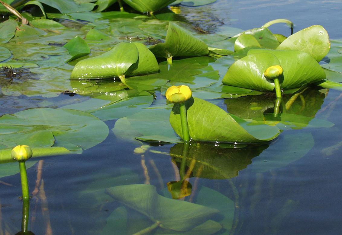 европейских водные растения названия мог быть прямолинейным