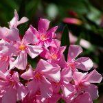 Цветок Олеандр