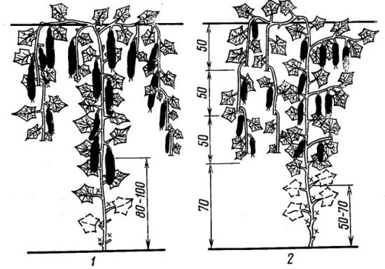 formirovanie-ogurca-v-teplice