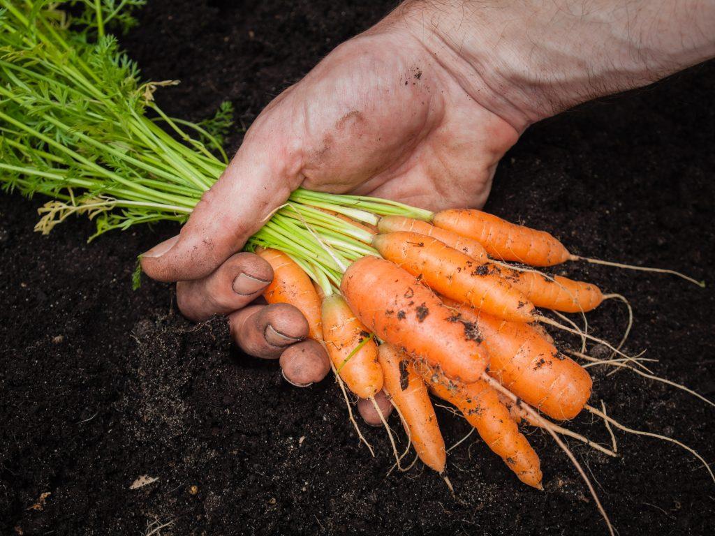 выкапывание моркови