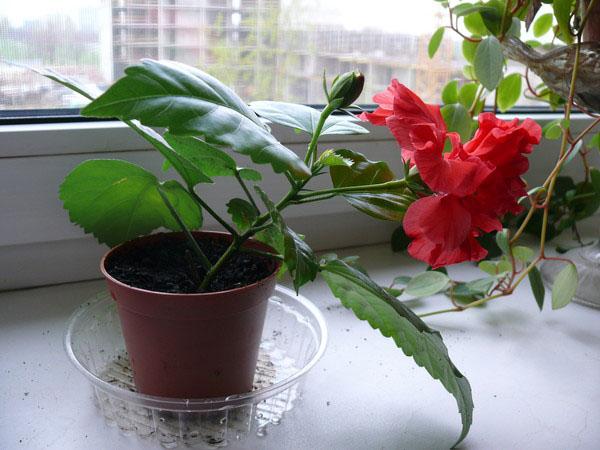 Роза китайская комнатная размножение фото