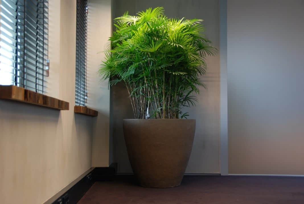 Бамбуковая пальма