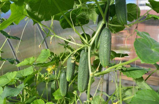 выращивание огурцов в условиях теплицы