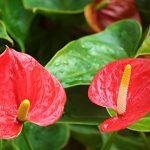 Особенности выращивания Антуриума