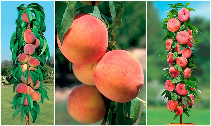 kolonovidnyj-persik.jpg