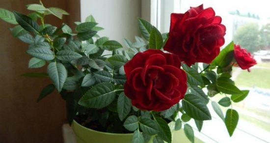 Сорта комнатной розы