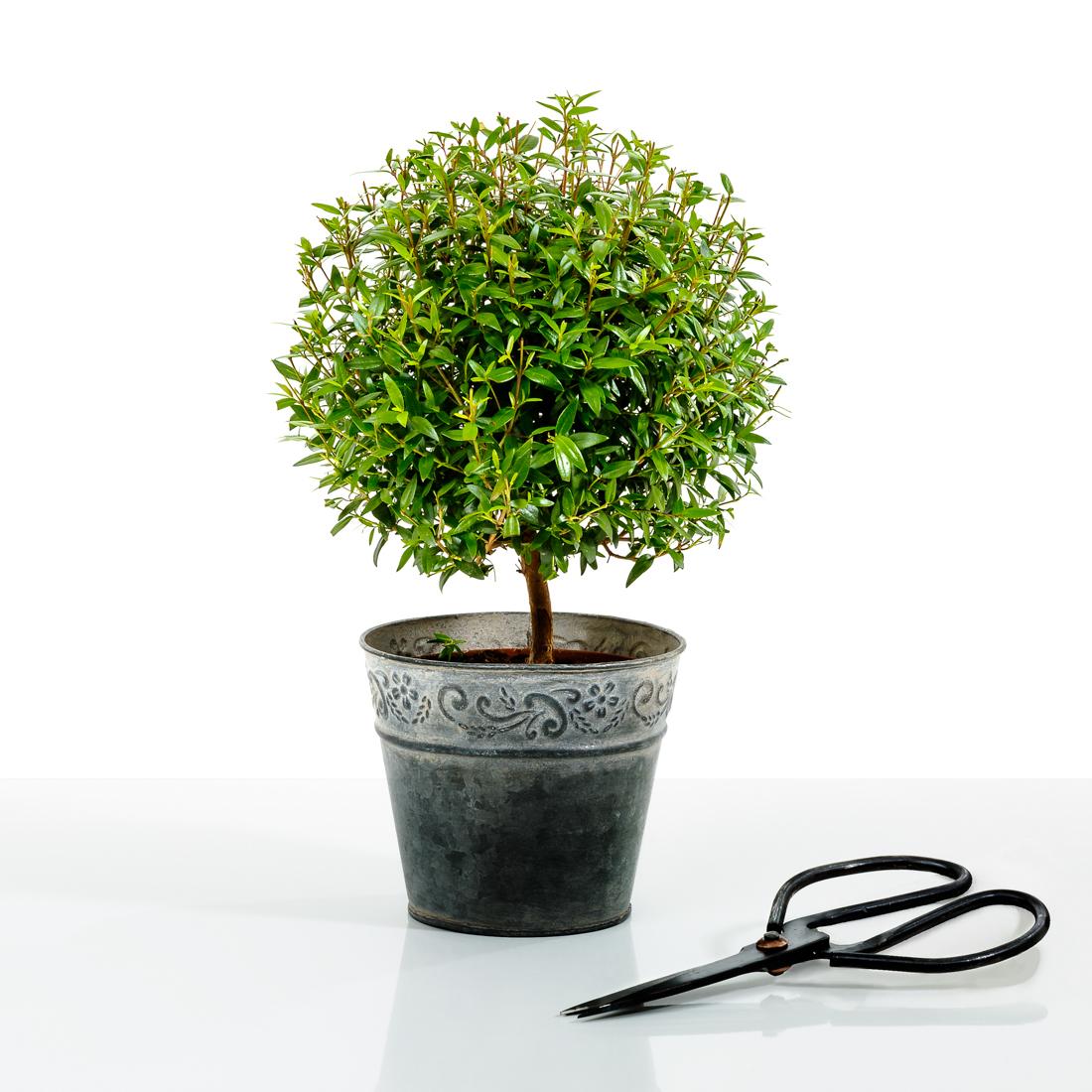 фото комнатного растения мирт следует кольцами вперёд