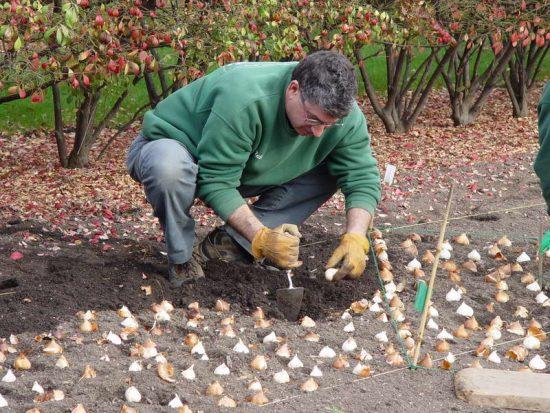 осенняя посадка луковичных в грунт