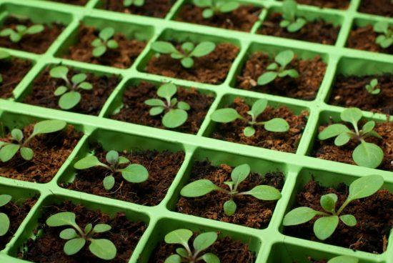 как ухаживать за рассадой петунии