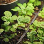Когда сажать клубнику на рассаду из семян