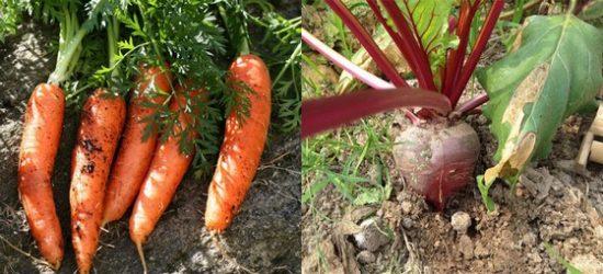 сбор моркови и свеклы