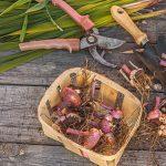 Когда выкапывать гладиолусы осенью и как хранить