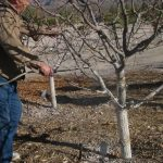 весенняя обработка персика