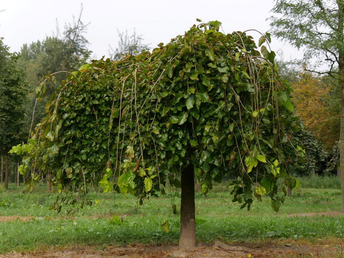 Тутовые деревья фото