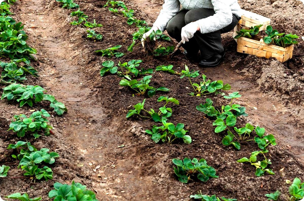 Как правильно посадить клубнику весной с фото