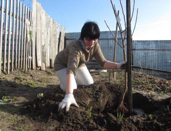 Как правильно сажать сливу весной: сроки и особенности выращивания