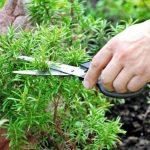 Розмарин - выращивание в открытом грунте в Подмосковье