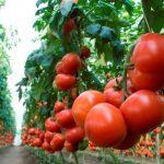 Семена томатов: самые урожайные сорта