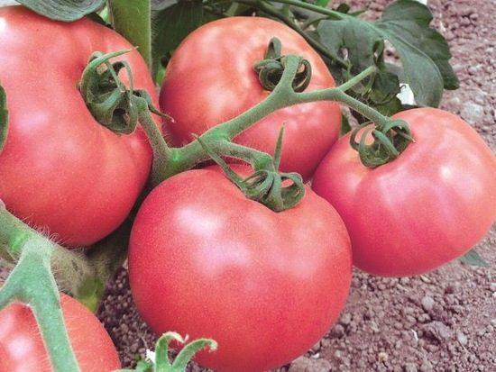 томат Малиновый звон