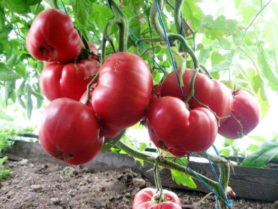 сорт помидор Розовый мед