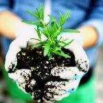 Выращивание розмарина в открытом грунте в средней полосе