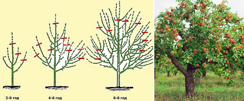 покрытие символизирует формирование кроны молодой яблони схема фото витиеватые значение слова