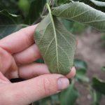 Почему не опадают листья с яблони осенью