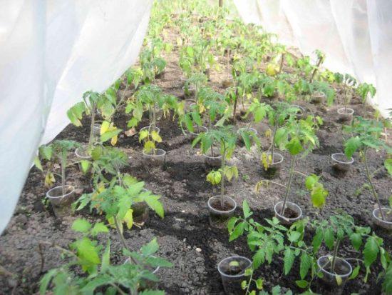 рассадад томатов в теплице