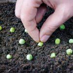 Как и когда сажать горох в открытый грунт семенами по лунному календарю в 2020 году в зависимости от региона и условий выращивания