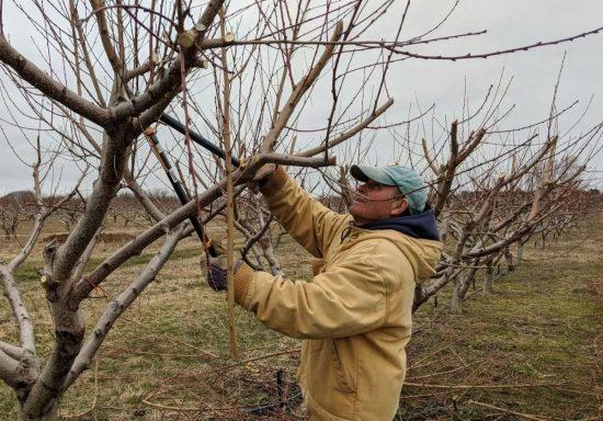 уход за яблонями после обрезки