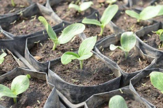 уход за рассадой кабачков