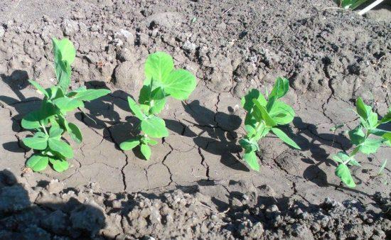советы по выращиванию гороха