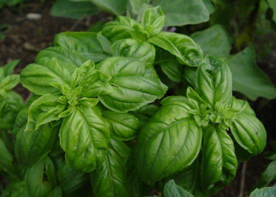 Зеленый ароматный