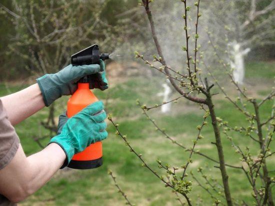 Подготовка яблонь к осенней обработке