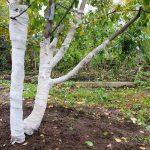 Укрывать плодовые деревья на зиму