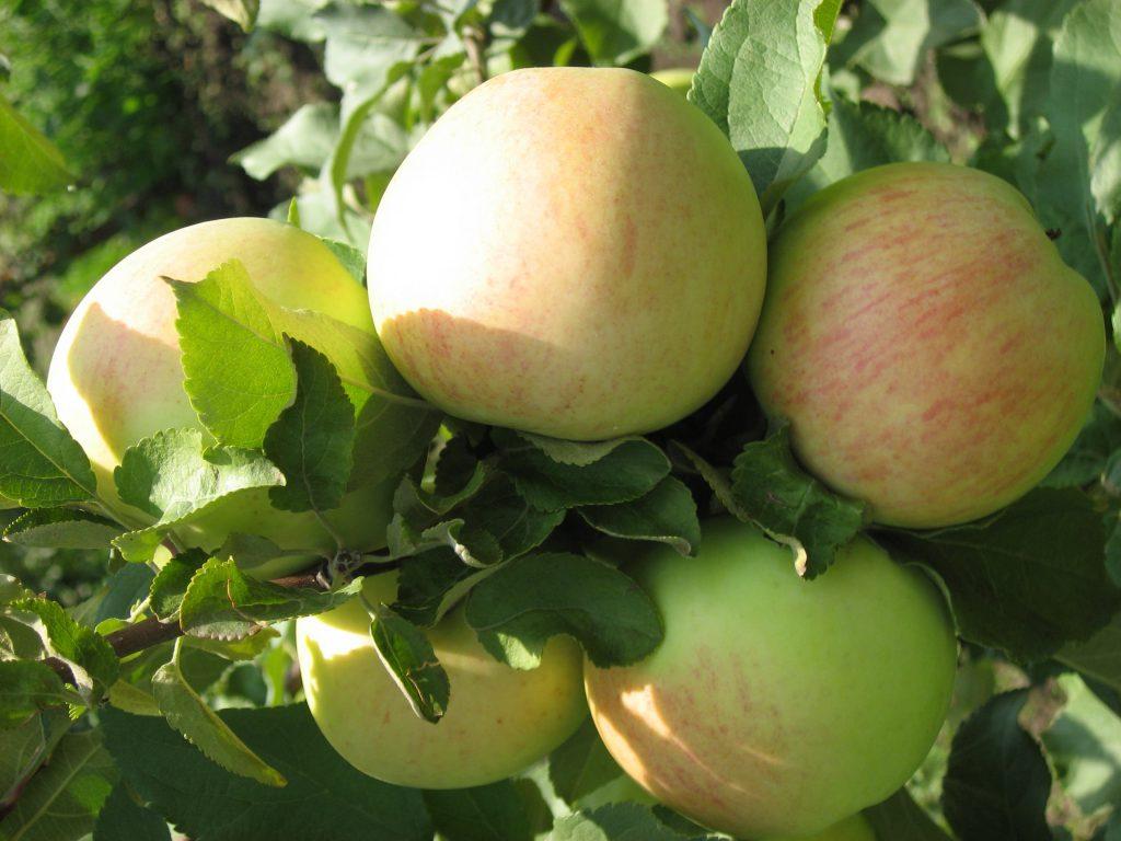 год штрифель сорт яблок фото решением станет тумба