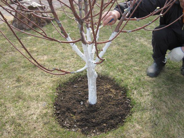 Когда и чем побелить яблони осенью: нужно ли белить, сроки, когда белить яблони осенью или весной